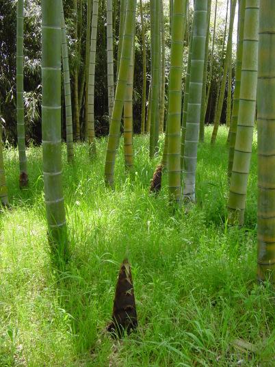 モウソウチク 孟宗竹 モウソウチク 筍の出る時期が早く、筍が大型なので、筍の代表種。 1本立..
